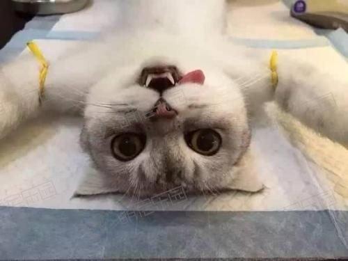 猫咪绝育需要多少钱?